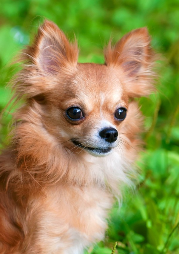 Long Haired Chihuahua Photos