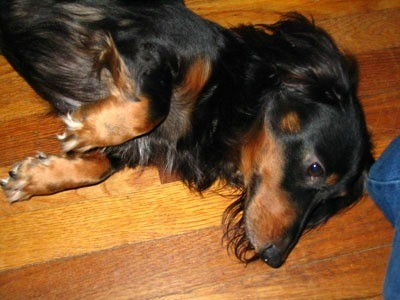 Bogey (Long Haired Dachshund)