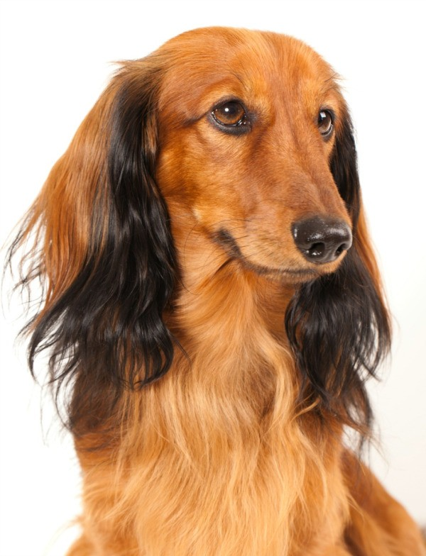 Grooming Long Haired Dachshunds Thriftyfun