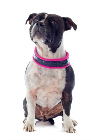 A dog wearing a collar.