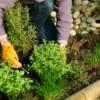 A woman weeding in her garden.