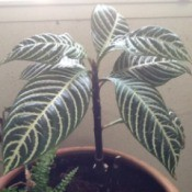 Potted plant with large dark green leaves and very defined white veins.