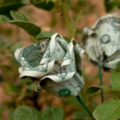Dollar Bill Rose