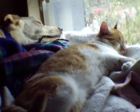 Orange and white tabby cat sleeping next to dog.