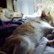 Orange and white tabby cat sleeping next to dog.