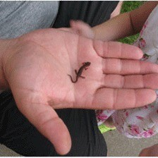 Tiny lizard in palm of someone's hand.