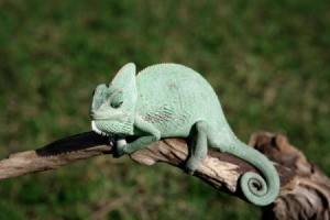 Green chameleon on a branch.
