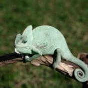 Green chameleon on a branch.