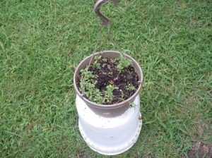 Violas in hanging pot.