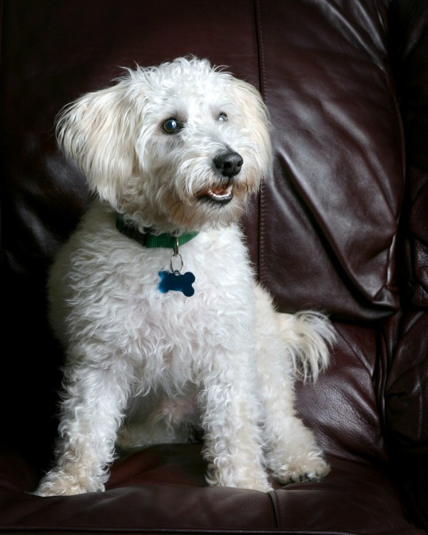 Mixed Breed Dog Photos And Information Thriftyfun
