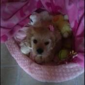 Cocker Spaniel puppy in pink bed.