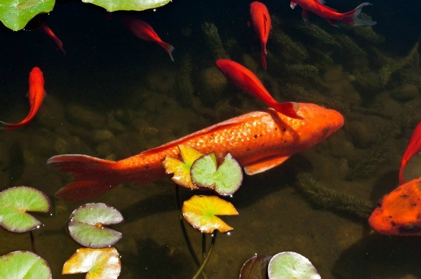 Protecting pond fish from wildlife thriftyfun for How to become a fishing guide