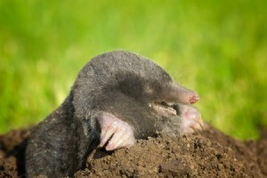 Mole coming out of a mole hole.