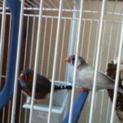 Male and female finch in white cage.