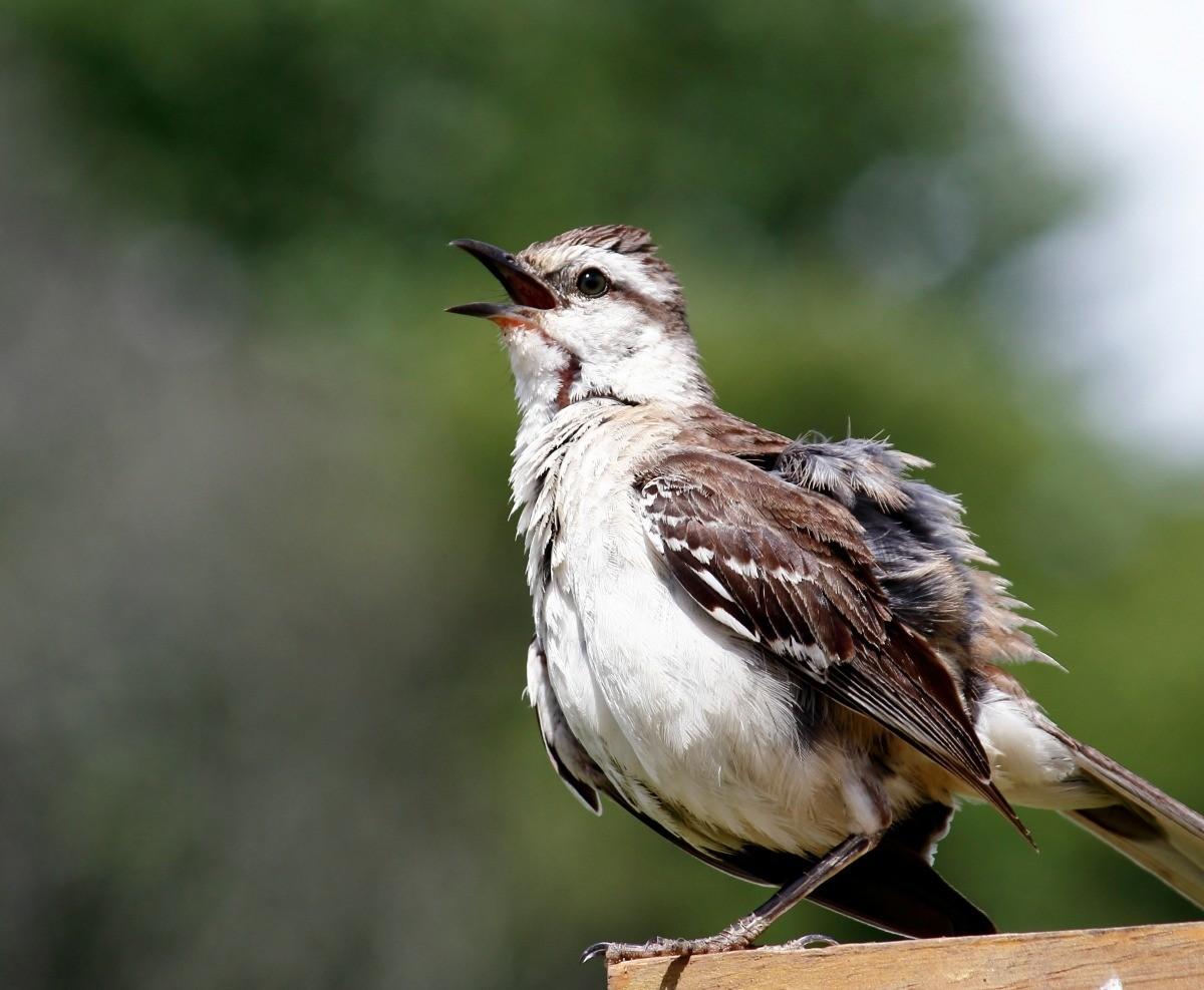 Getting Rid of Mockingbirds | ThriftyFun