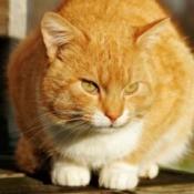 An orange cat in heat.