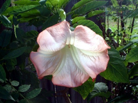 Pink Brugmansia (Angel's Trumpet)