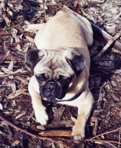 Breed Information: Pug