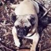 Breed Information: Pug