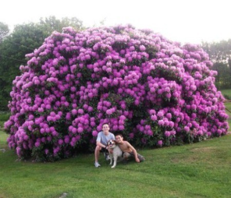A Huge Purple Rhododendron