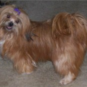 Lacy (Lhasa Apso)