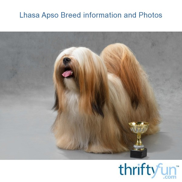Lhasa Apso Breed Information And Photos Thriftyfun