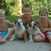 2 bull dogs with 3 boys
