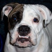 Close up of English Bulldog