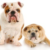 Two English Bulldogs, one sitting one laying down.