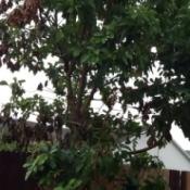 Large avocado tree.