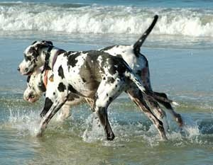 Great danes playing in the ocean