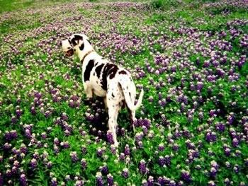 Great Dane in a field of flowers