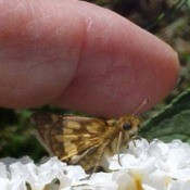 Skipper Butterfly near finger
