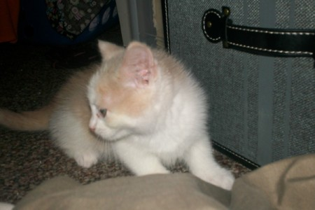 Buff and white kitten looking over shoulder.