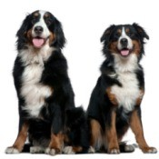 Bernese Mountain Dog Information