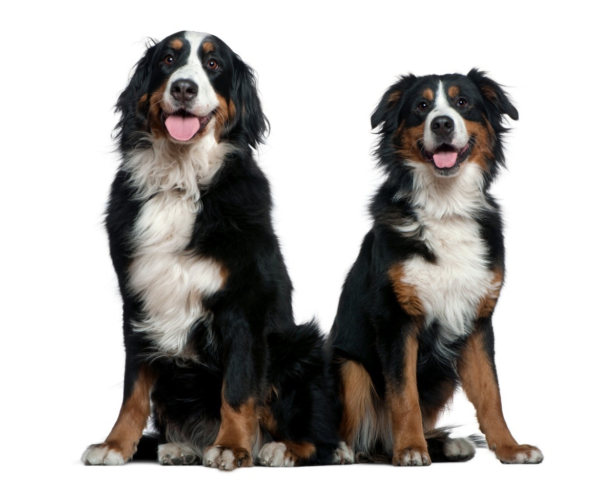 Bernese Mountain Dog Breed Information And Photos Thriftyfun