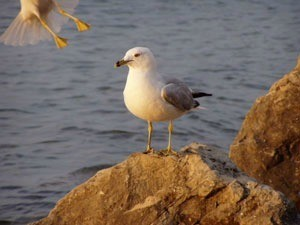 Seagull on a rock at the bay.