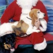Daisy in Santa's lap.