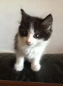 Black and white kitten,  Cookie.