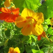 Yellow and orange nastursiums.