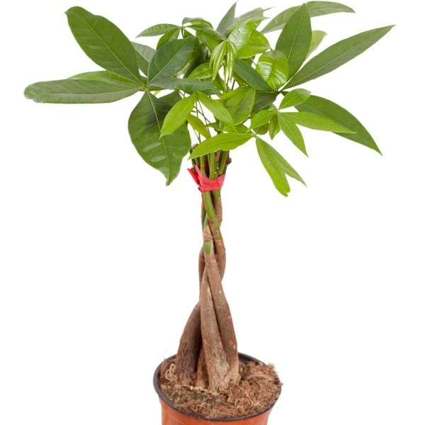 Growing a Money Tree Plant | ThriftyFun