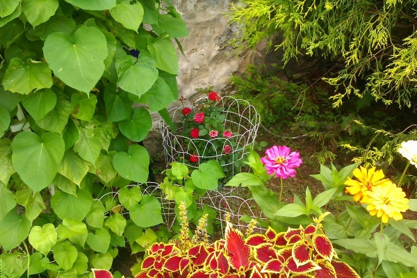 morning glories not flowering thriftyfun