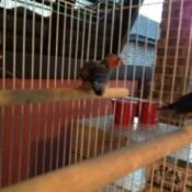 Finch in cage.