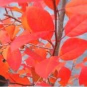 Bright orange leaves.