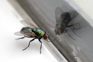 Housefly.