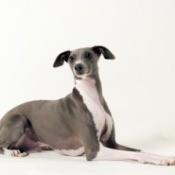 Italian Greyhound Sitting.