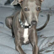 Italian Greyhound laying down.
