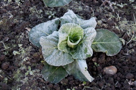 Frosted vegetable in garden.
