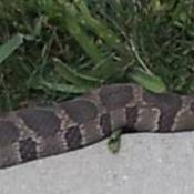 Snake on concrete.