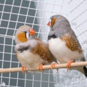 Two pet finches sitting in a cage.